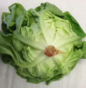English round lettuce